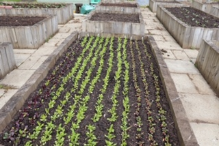 Veg grown in rows in a raised bed